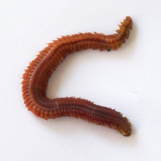 Live Ragworms