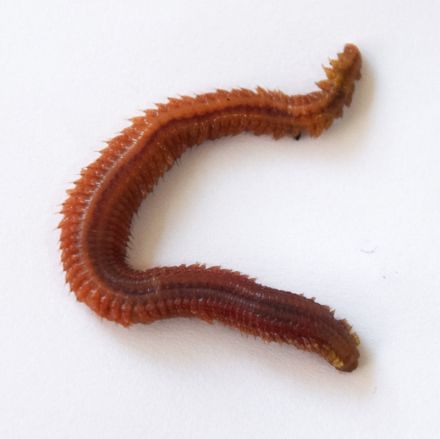 Live Ragworms for bait